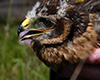 Ecotricity fund hen harrier tagging